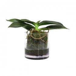 Szklana waza z korzeniami falenopsis - HK Living