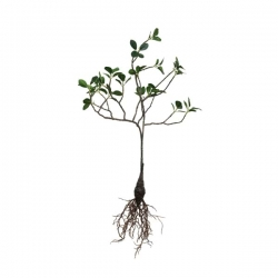 Duża gałązka z korzeniem